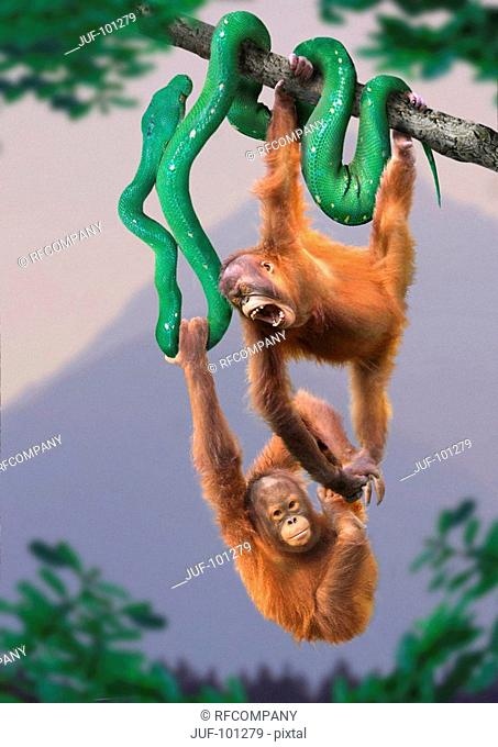 two orangutans - hanging on snake / Pongo pygmaeus