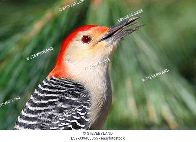 Male Red-bellied Woodpecker (Melanerpes carolinus) with green pine branches