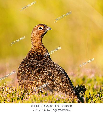 A Red Grouse ( Lagopus lagopus scoticus ) a few days before the grouse shooting season begins ( the glorious 12th of August ) in moorland, Yorkshire Dales