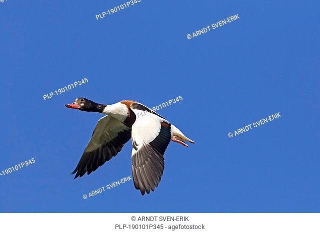 Common shelduck (Tadorna tadorna) female in flight against blue sky
