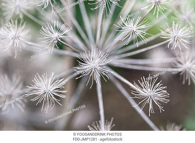 Angelica Flower Seed Head