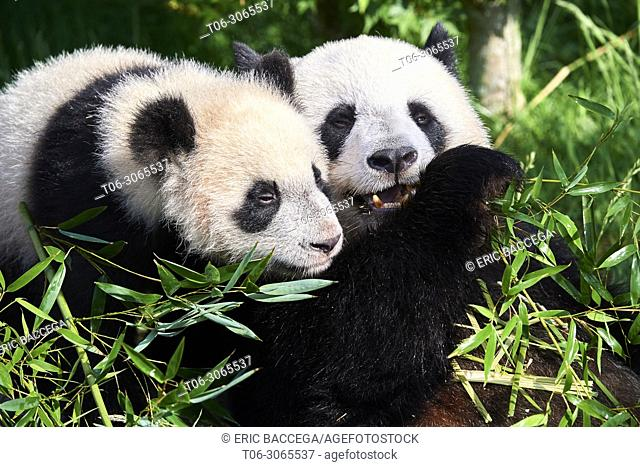 Female giant panda Huan Huan feeding on bamboo with her playfull cub (Ailuropoda melanoleuca). Yuan Meng, first giant panda even born in France