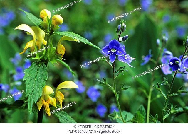 Yellow archangel Lamium galeobdolon and Germander speedwell Veronica chamaedrys, Belgium