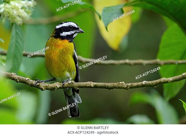 Jamaican Spindalis (Spindalis nigricephala) perched on a branch in Jamaica in the Caribbean