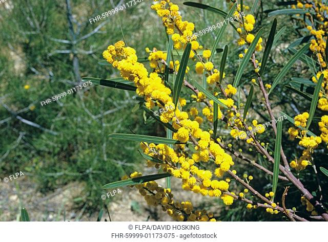 Golden Wreath Acacia cyanophylla leaf and flower, Jordan