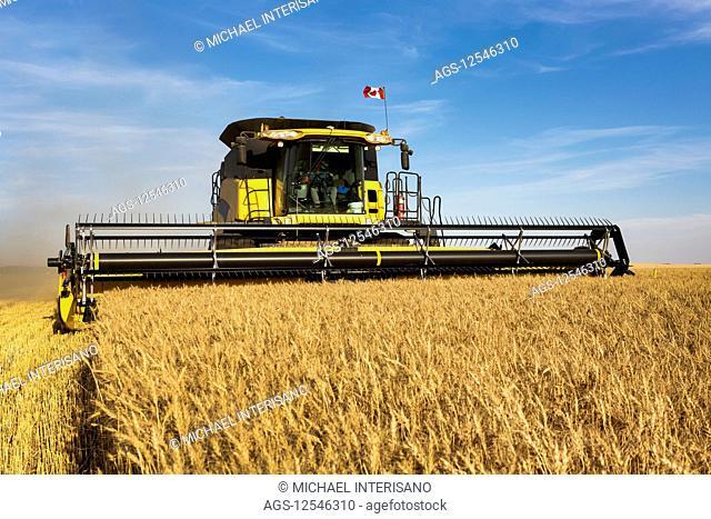 Combine harvesting a golden wheat field; Beiseker, Alberta, Canada