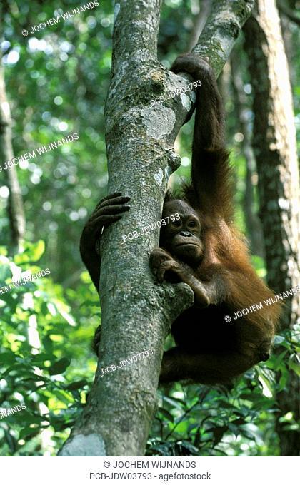Sabah, a male orangutan climbing