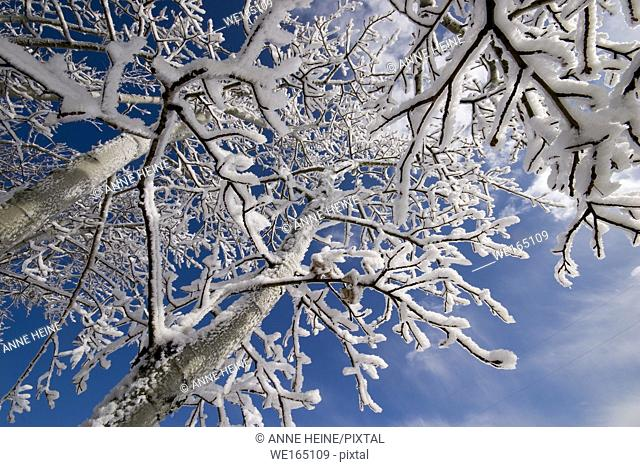 Branches with frost, blue sky. Close to Calgary, Alberta, Canada