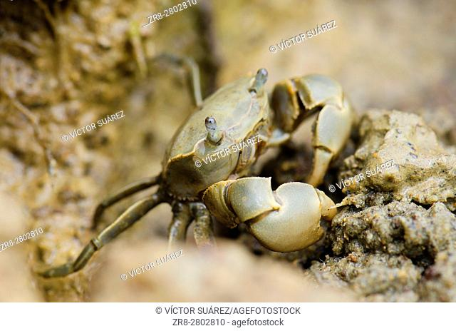 Tunnelling mud crab (Austrohelice crassa). Hoopers Inlet. Otago Peninsula. Otago. South Island. New Zealand