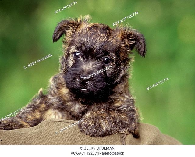 CairnTerrier Puppy close up