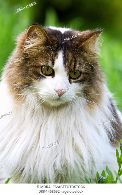 Domestic cat, Bas-Rhin, France