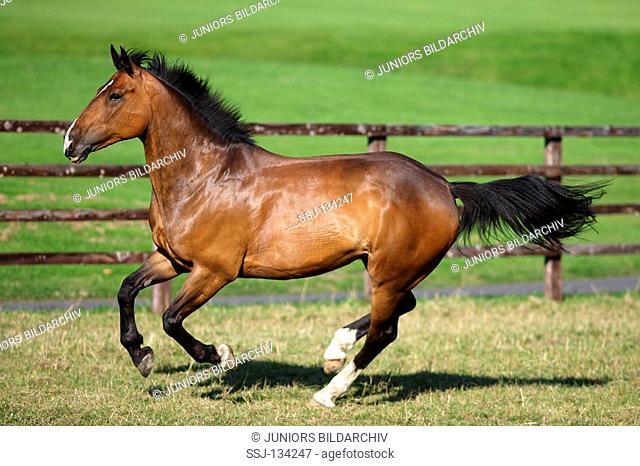 Irish Hunter - galloping on meadow