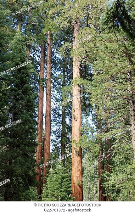 Mariposa Grove National Park Yosemite, California, sequoias