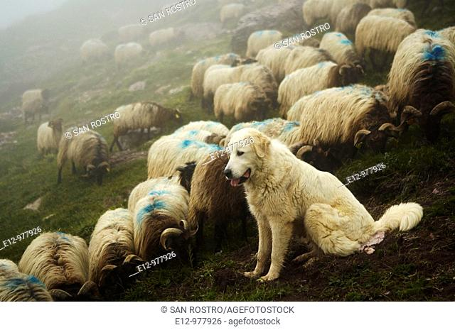 France, Pyrenees mounts, Pyrenees-Atlantic department, Aspe valley, herd with their shepherd dog a Great Pyrenees