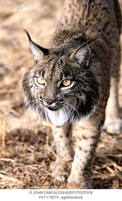 Iberian Lynx (Lynx pardinus). Spain