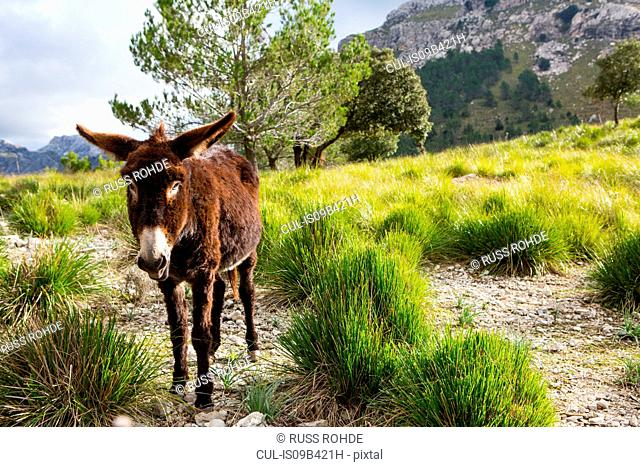 Catalan donkey in the La Tramuntana mountain range, Majorca, Spain