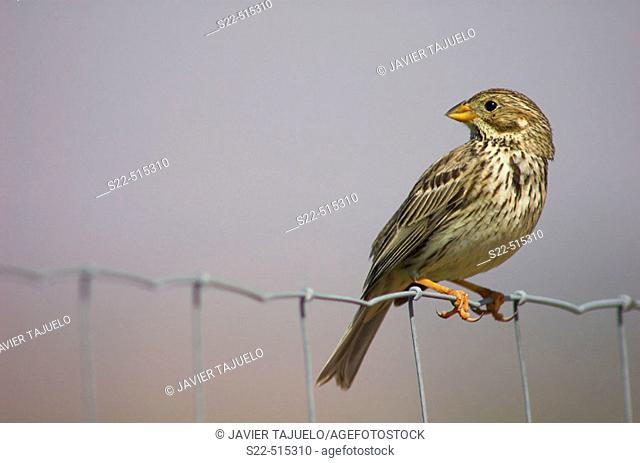 Corn Bunting adult (Miliaria calandra) perching on wire fence