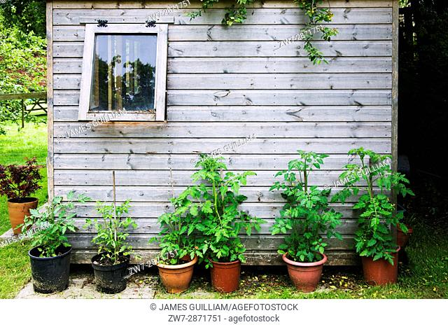 Tomato plants growing outdoors against a wooden garden shed