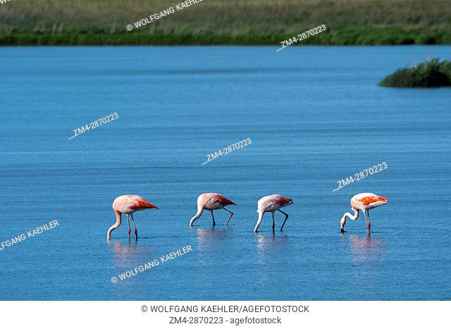 A group of Chilean flamingos (Phoenicopterus chilensis) are feeding in the water of the Laguna Nimez Bird Sanctuary in El Calafate, Argentina