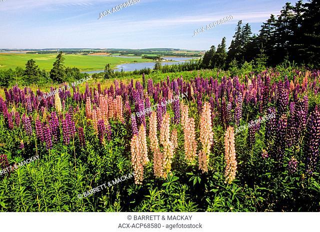 Field of lupines, Clinton, Prince Edward Island, Canada