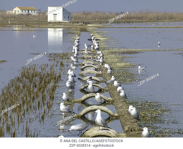 Seagulls in Sunset over flooded rice fields. Sueca, Spain