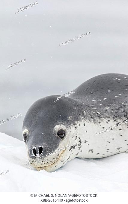 Adult leopard seal, Hydrurga leptonyx, hauled out on ice in Buls' Bay, Brabant Island, Antarctica