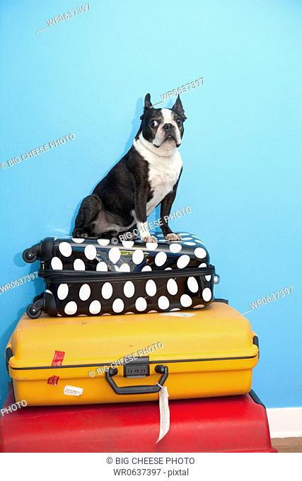 Dog sitting on stacked suitcases