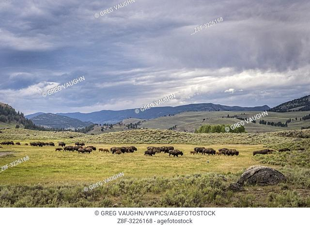 Bison herd, Lamar Valley, Yellowstone National Park, Wyoming