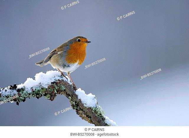 European robin Erithacus rubecula, sitting on a snow-covered twig, United Kingdom, Scotland, Cairngorms National Park, Glenfeshie