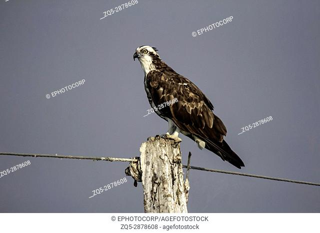 Osprey sitting on pole. Pandion haliaetus, also called fish eagle or sea hawk