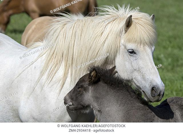 An Icelandic horse mare interacting with a foal on a pasture near Akureyri, northern Iceland