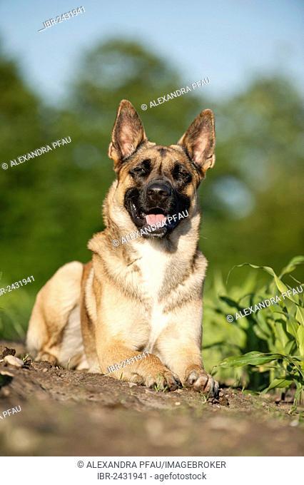 Malinois or Belgian Shepherd Dog, lying