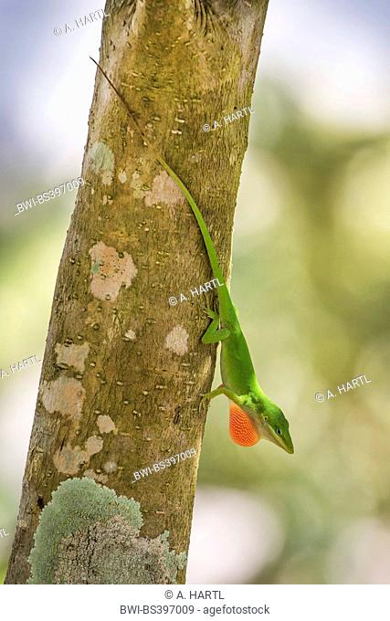 green anole (Anolis carolinensis), male displaying its dewlap, USA, Florida, Kissimmee