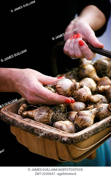 Woman holding garden trug filled with Narcissus bulbs whilst selecting a single bulb