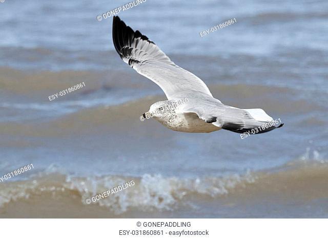 Ring-billed Gull (Larus delawarensis) Flying Over Waves - Lake Huron, Ontario, Canada