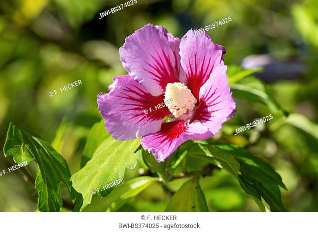 shrubby althaea, rose-of-Sharon (Hibiscus syriacus), flower