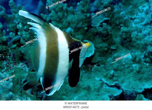 Pennant Bannerfish, Heniochus chrysostomus, Pacific, Micronesia, Palau