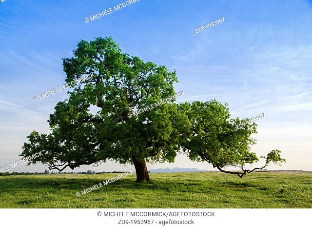 A stunning solitary oak frames the distant Sutter Buttes