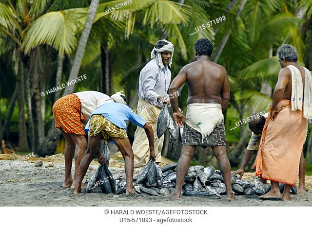 Indian fishermen dividing their successful catch of fish at Varkala beach. Varkala Kerala, India 2005