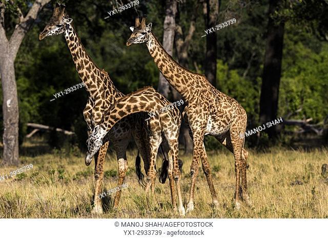 giraffes necking. Masai Mara National Reserve, Kenya