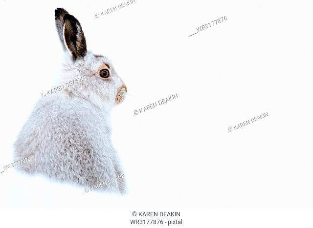 Mountain hare portrait (Lepus timidus) in winter snow, Scottish Highlands, Scotland, United Kingdom, Europe
