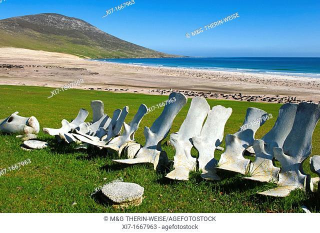 Whale skeletons on the beach of Saunders Island, Falkland Malvinas Islands