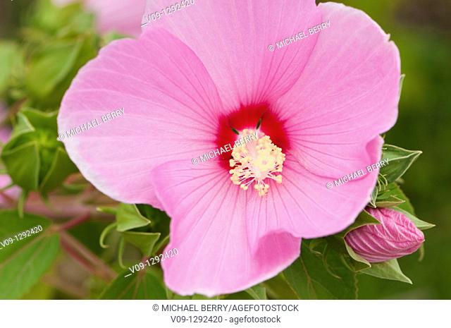 Swamp-rose Mallow (Hibiscus moscheutos), USA