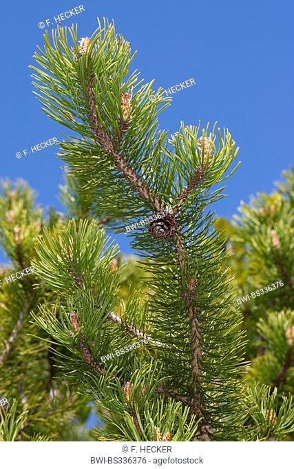 Mountain pine, Mugo pine (Pinus mugo), branch with cone, Germany