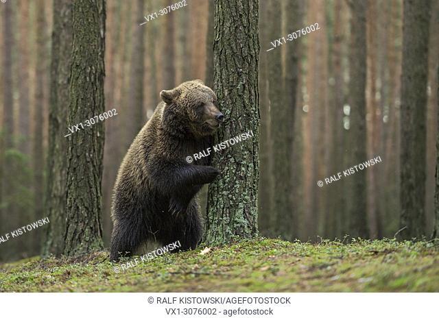 European Brown Bear / Braunbaer ( Ursus arctos ), playful cub, standing on hind legs, hiding behind a tree, playing hide and seek, looks funny, Europe