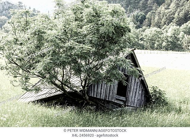 Tree ash Fraxinus sp., Losenheim, Schneeberg region, Lower Austria, Austria