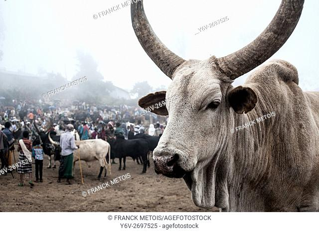 Bull on sale at the weekly market. At Bati ( Amhara state, Ethiopia). The Bati weekly market is the second largest market in Ethiopia
