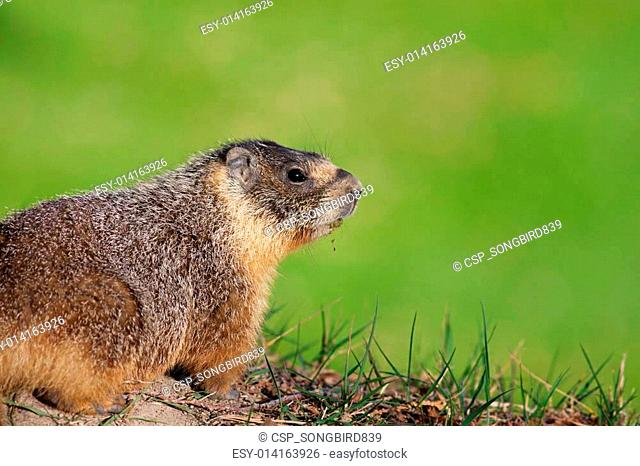Yellow-Bellied Marmot Closeup