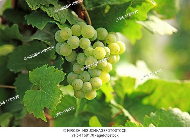 Grapes, Germany, Rheinland-Pfalz, Bernkastel-Kues