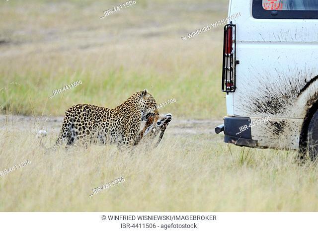 Leopard (Panthera pardus) with prey in the savannah behind a tourist car. Masai Mara Preserve, Kenya